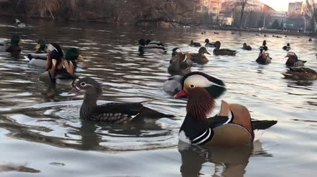 gaga : Male and female mandarin ducks (Aix galericulata)