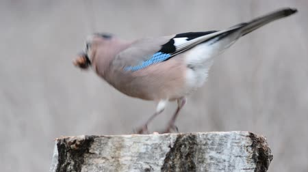 Eurasian jay, garrulus glandarius, sits on a feeder and eats nuts