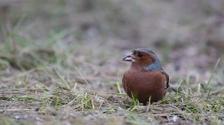 Male Finch fringilla coelebs sits on the grass and eats seeds. Cute common woodland songbird in the wild Stock mozgókép