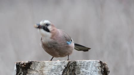 besleyici : Eurasian jay, garrulus glandarius, sits on a feeder and eats nuts