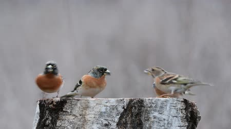 Brambling (Fringilla montifringilla) on the winter bird feeder Stockvideo