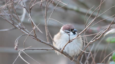 çiftlik hayvan : Eurasian Tree Sparrow (Passer montanus) sitting in a tree in winter time