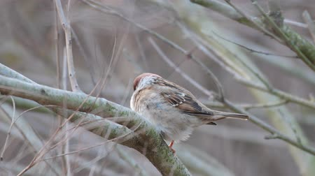 Eurasian Tree Sparrow (Passer montanus) sitting in a tree in winter time