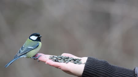 Feeding small songbirds with a human hand