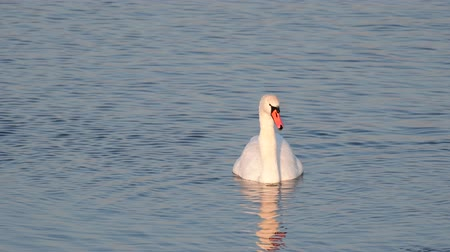 Swan (Cygnus olor) on the lake dives in search of food for itself