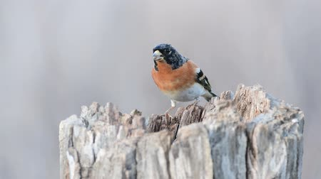 Colorful male brambling (Fringilla montifringilla), perched on a log eats seeds Stock mozgókép
