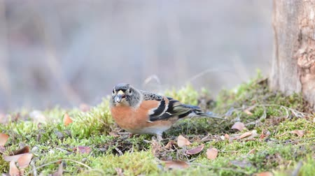 mossy : Brambling, Fringilla montifringilla, birds are looking for seeds in the grass Stock Footage
