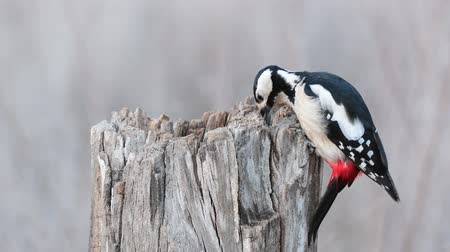 Spotted woodpecker (Dendrocopos major) on a stump eats seeds