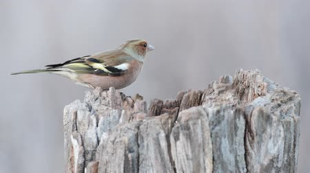 Common Chaffinch (Fringilla coelebs) on a forest bird feeder
