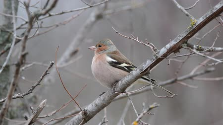 The common Finch (Fringilla coelebs) in natural habitat