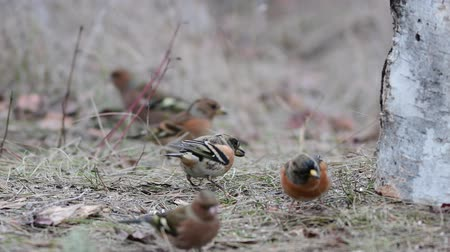 Birds sit on the grass and eat seeds. Cute common forest songbirds in the wild