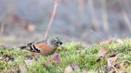 mohás : Brambling, Fringilla montifringilla, birds are looking for seeds in the grass Stock mozgókép
