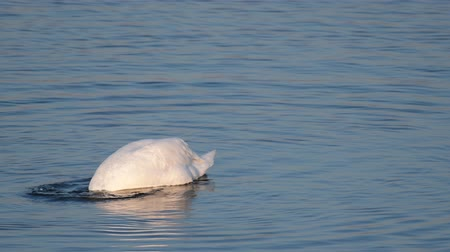 osamělost : Swan (Cygnus olor) on the lake dives in search of food