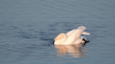 solitario : Swan (Cygnus olor) on the lake dives in search of food for itself