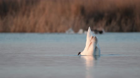 paz : Swan (Cygnus olor) on the lake dives in search of food