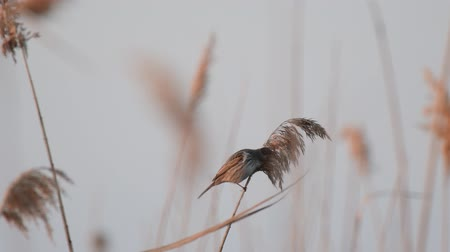 kamış : Female reed bunting (Emberiza schoeniclus) bird feeding on seed in a reed bed Stok Video