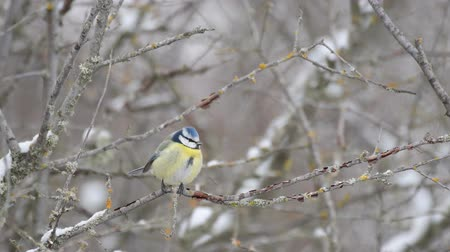 ormanda yaşayan : Blue tit (Cyanistes caeruleus) sitting on a branch during winter and light snowfall Stok Video