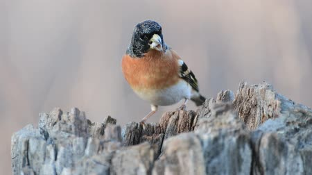 鳥類学 : Colorful male brambling (Fringilla montifringilla), perched on a log eats seeds 動画素材