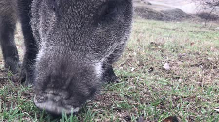 нападение : Wild boar (Sus scrofa) feeding in a clearing close-up Стоковые видеозаписи