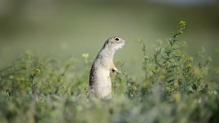 wiewiórka : Funny Ground squirrel (Spermophilus pygmaeus) standing in the grass and screams Wideo