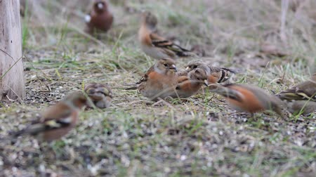 певчая птица : Birds sit on the grass and eat seeds. Cute common forest songbirds in the wild