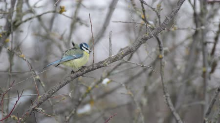 певчая птица : Blue tit (Cyanistes caeruleus) sits on a branch in winter
