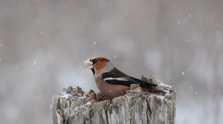 asa : Hawfinch Coccothraustes coccothraustes. Two birds are fighting on a feeder in the forest