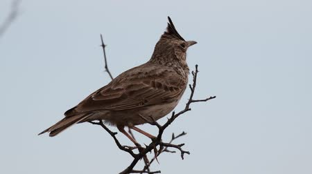 эмблема : Singing Crested Lark on a branch, against the sky, (Galerida cristata)