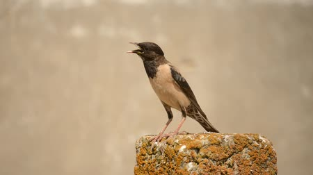 szpak : Rosy starling (Pastor roseus) Singing bird Wideo