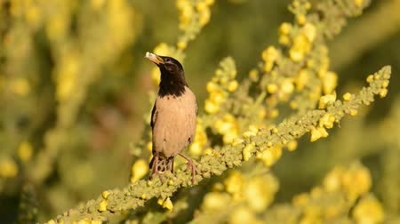 starling : The rosy Starling (Sturnus roseus) sits on beautiful yellow flowers with food in its beak Stock Footage