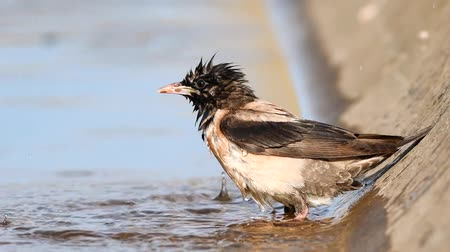 arame : Bathed the rosy starling (Sturnus roseus) close up Stock Footage