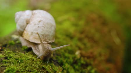 lesma : Snail crawling over moss in the forest.
