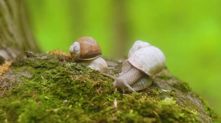 squirm : Two snails crawling over moss in the forest.
