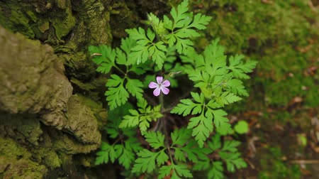 герань : One small purple flower in the wild forest. Herb Robert flower, Geranium robertianum blooms.
