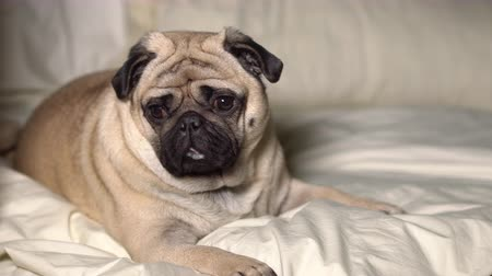 sono : A cute pug dog lays in bed, tired and lazy