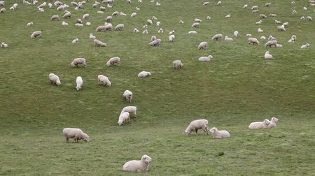 koyun : Flock of sheep grazing on a field of farmland in New Zealand