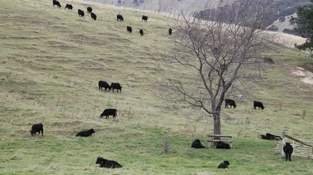 felvidéki : Black steers bull on a farmland in New Zealand.