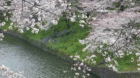 chidorigafuchi : Cherry blossoms in the wind at Chidorigafuchi park in Tokyo, Japan Stock Footage
