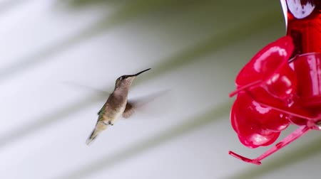 A hummingbird drinks the red nectar from a feeder and hovers around too.
