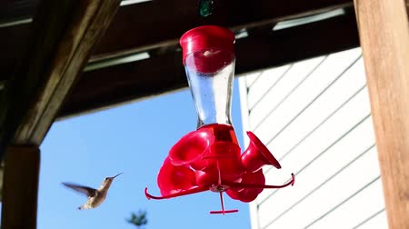 A hummingbird drinks the red nectar from a feeder that hangs from a porch. The hummingbird also makes a quick high-pitched chirp or squeak sound several times. Stock Footage