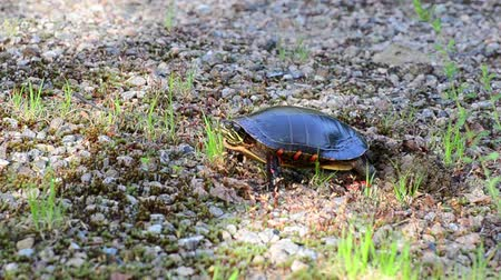 A female painted turtle uses her hind legs and feet to pull soil and gravel over her nest. She also raises herself up and uses her feet to pack down the soil to protect her eggs.