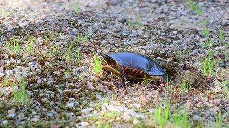 réptil : A painted turtle uses her feet to pack down the soil over her nest. She is doing this to protect her eggs.