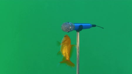 感想 : Two small goldfish are trying to say something in microphone conceptual footage