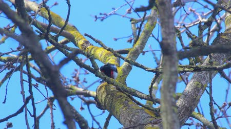 dead tree : Bird fly away from tree. Great spotted woodpecker on tree branch. Dry tree branches. Woodpecker in tree branches. Blue sky. Bird on branch. Tree branches with green moss. Bird on tree. Stock Footage
