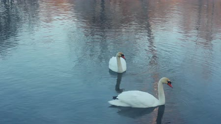 peaceful : Swimming birds on river. Swan cleaning feather. White swans swimming in lake. Swans on water surface. Swans on pond. Wildlife. White swans on water. Swan couple. Swimming birds