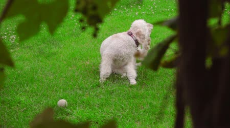 instincts : Dog scratching on green grass. White Labradoodle itching on lawn. Cute pet scratching himself outside. Lovely pet lying at green lawn. Itchy dog on grass. Animal instinct Stock Footage
