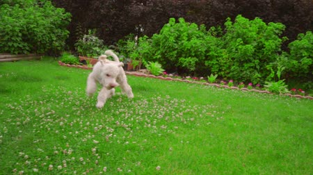 köpek yavrusu : Man playing with dog at garden. White dog playing ball. Pov of man hand throwing tennis ball. Point of view owner play with pet. Playful Labradoodle running on grass. White poodle dog catching ball