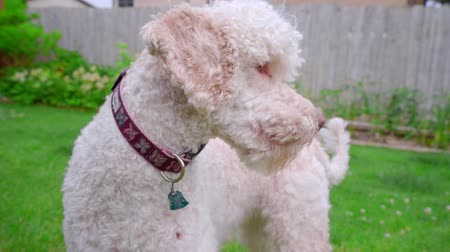 embarrassed : Scared dog on green grass. Shy dog portrait outside. Close up of white labradoodle. Frightened dog outdoor. Animal emotion. White labradoodle standing on lawn Stock Footage