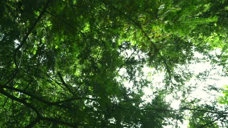 árvores : Sun rays shine through tree branches at summer. Green leaves background. Green tree bottom view. Trees with leaves and sun beams. Nature background. Sunlight shining through green leaves