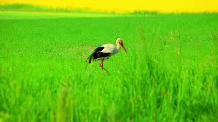 yalnız : White stork walking green field. Close up of white stork bird on green grass background. Stork looking for food on grass in field. Stork searching food on meadow
